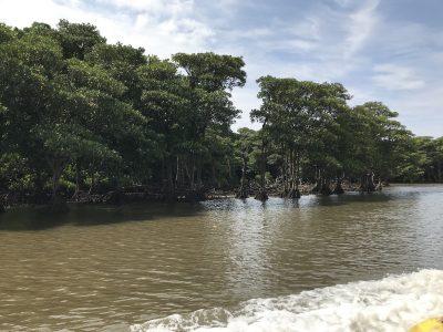 日本最大の仲間川マングローブ林を船から見学。